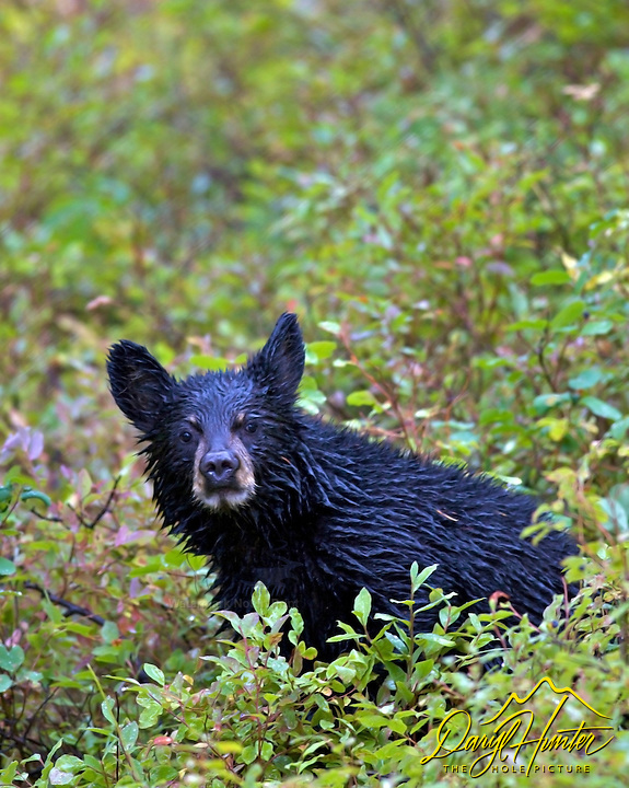 Soaking wet Black Bear cub in Grand Teton National Park