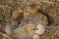 Hühnerküken, Küken im Nest im Hühnerstall, Zwerghuhn, Zwerghühner