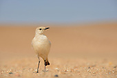 Tractrac Chat (Cercomela tractrac), Namib Desert, Namibia