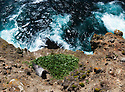 Light-mantled Albatross (Phoebetria palpebrata) at nesting site, Auckland Islands, New Zealand
