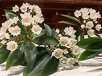 Kalmia, Glass Flowers Exhibit Harvard Museum of Natural History