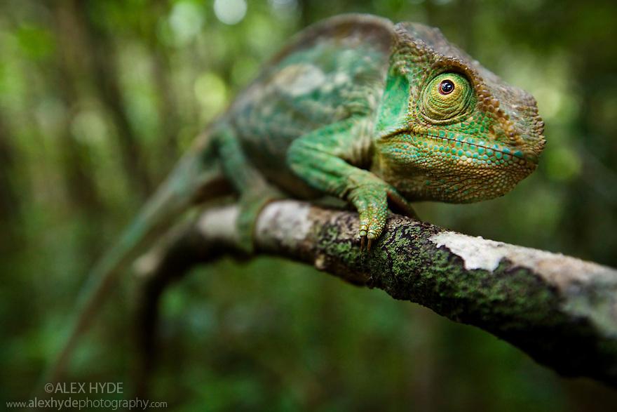 Parsons chameleon female {Calumma parsonii} on vine in tropical rainforest. Andasibe-Mantadia NP, Madagascar