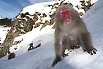 Japanese Macaque, Macaca, fuscata, adult foraging in snow for food, hot water spring, Jigokudani National Park, Nagano, Honshu, Asia, primates, old world monkeys, snow, macaques, behavior, onsen, red face.Japan....