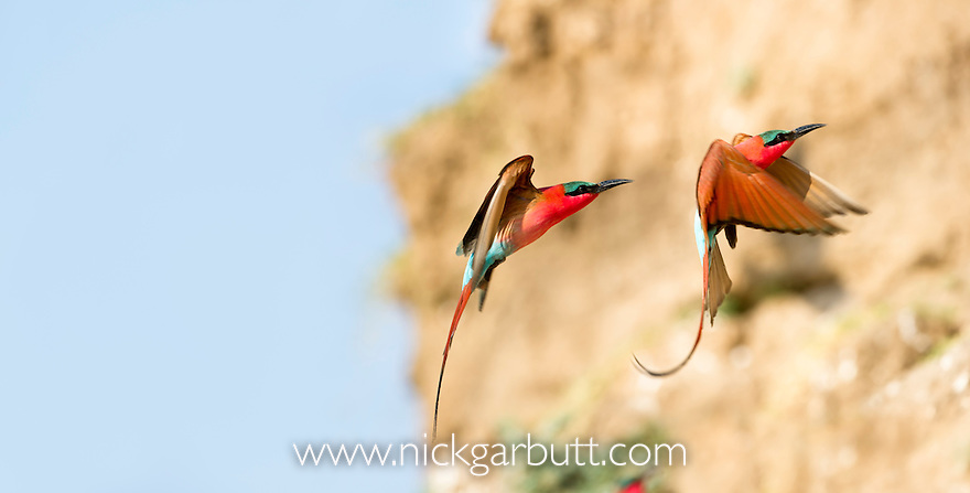 Southern Carmine Bee-eaters (Merops nubicoides) returning to nest holes. Banks of the Luangwa River. South Luangwa National Park, Zambia.