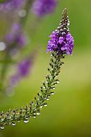 Wildflower in English country garden, UK