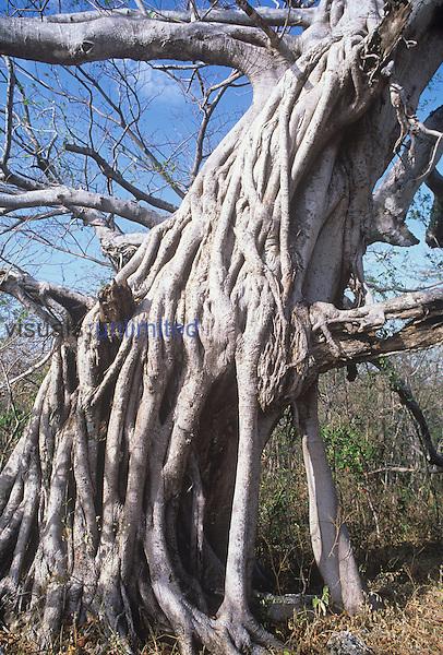 Strangler Fig ,Ficus,.
