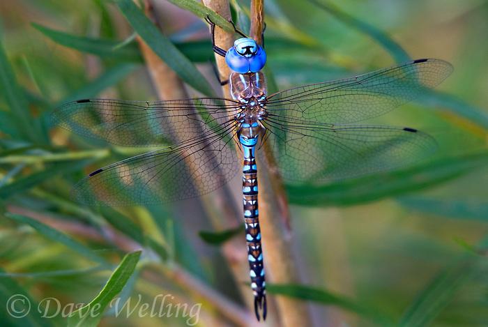 339360052 a wild male blue-eyed darner  rhionaeschna multicolor perches on wild plant along jean leblanc canal north of bishop mono county califorina united states