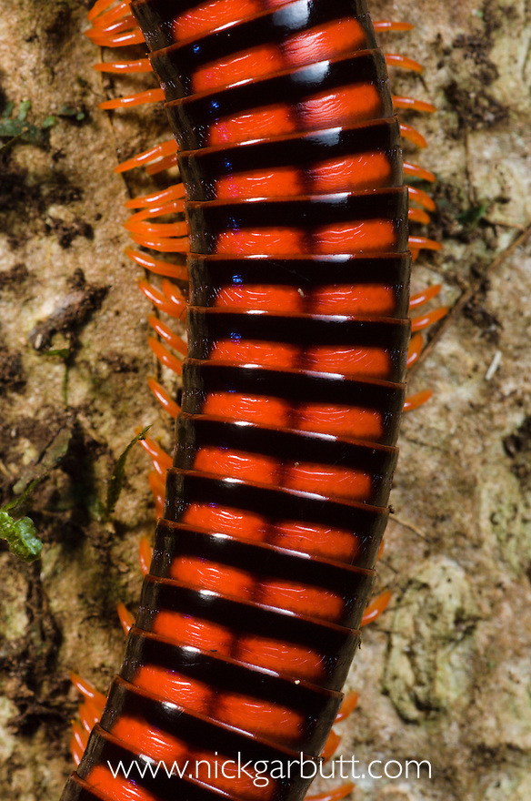 Giant Millipede | Nick Garbutt