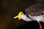 Masked Lapwing, Spurwinged Plover, Vanellus miles