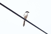 Loggerhead Shrike, Teacapan, Mexico
