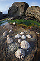 Common Limpets (Patella vulgata) on rock in intertidal zone exposed at low tide. Isle of Skye, Inner Hebrides, Scotland, UK. April.