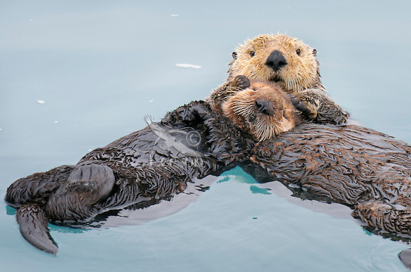 Alaskan or Northern Sea Otter (Enhydra lutris) mother holding pup/baby while it sleeps.