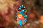 Papuan Toby pufferfish (Canthigaster papua)