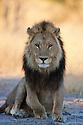 Botswana, Okavango Delta, Moremi; male lion sitting