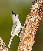 Black-Crested titmouse in profile perched on a tree