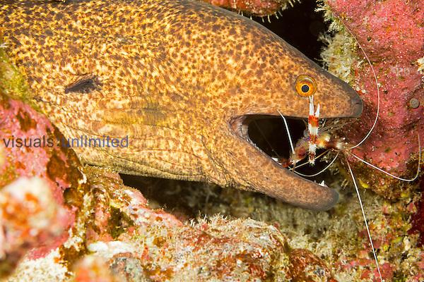 Yellowmargin Moray Eel (Gymnothorax flavimarginatus) with a Banded Coral Shrimp (Stenopus hispidus) searching its mouth for parasites, Hawaii, USA.