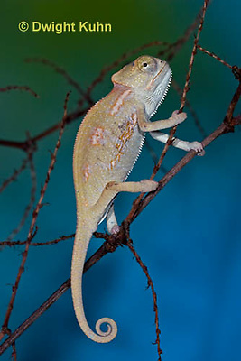 CH47-856z  Veiled Chameleon three month old young, Chamaeleo calyptratus