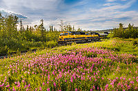 Alaska Railroad passenger train passes field of fireweed near Fairbanks, Alaska.
