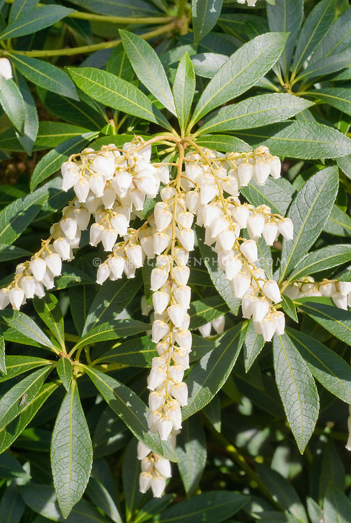 Pieris japonica 'Dodd's Crystal Cascade Falls' in white bell like spring flowers, Japanese andromeda shrub in bloom