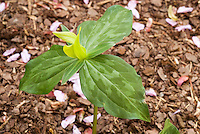 Trillium luteum, Yellow Wakerobin in spring bloom T. cuneatum var luteum aka T. viride var luteum, spring ephemeral perennial plant with 3 mottled leaves