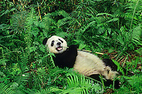Giant Panda (Ailuropoda melanolecua) eating bamboo in bamboo forests of Central China.