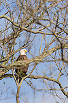 Brazoria County, Damon, Texas; an adult bald eagle sitting on a branch near the top of a tree, keeping a watchful eye on it's two chicks in a nearby nest