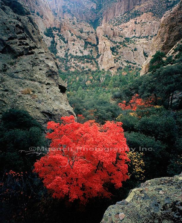 Maple tree, Chiricahua Mountains, Chiricahua Wilderness