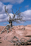 Canyonlands National Park, Utah; a dead and leafless Bristlecone Pine (Pinus longaeva) still anchored in sandstone, pictured against a brilliant blue sky with white clouds