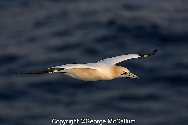 Northern Gannet Morus bassanus or Sula bassana flying over sea  at sunset