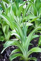 Hemerocallis fulva 'Variegated Kwanso' foliage of perennial daylily
