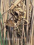 Marsh Wren (Cistothorus palustris) male performing courtship display at its nest, New York, USA<br /> Slide # B134-197