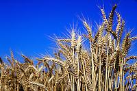 Mature golden brown wheat grains in field.