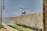 Williams Helicopter Corp. UH-1H flies low and sprays the almond blossoms in an orchard next to power lines with fungicide for brown rot in late winter in the Sacramento Valley