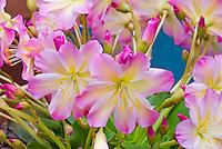 Lewisii tweedii 'Rosea', Tweedy's bitterroot, native American USA plant, western United States wildflower aka Lewisia tweedyi 'Rosea', pink blooming in spring