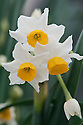 Tazetta daffodil Narcissus tazetta ssp. italicus, glasshouse, early March. A hybrid between Narcissus tazetta and Narcissus papyraceus , found in Italy and Switzerland where the two species overlap.