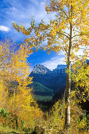 A mountain peak in Glacier National Park framed by trees in fall color. Viewed from Going to the Sun Road