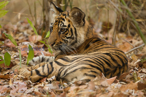 Young Bengal Tiger (Panthera tigris tigris) resting in leaf litter, Bandhavgarh National Park, Madhya Pradesh, India
