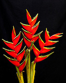Heliconia flowers with black background, Maui.