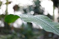 Tropical Rainforest Glasshouse (formerly the Winter Garden or Le Jardin d'Hiver), 1936, René Berger, Jardin des Plantes, Museum National d'Histoire Naturelle, Paris, France. Detail of a Musa leaf with dewdrops.