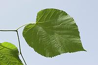 Sommerlinde, Sommer-Linde, Linde, Blätter, Blatt vor blauem Himmel, Blattoberseite, Tilia platyphyllos, Large Leaved Lime, Linden