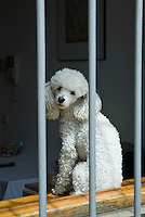 white poodle sitting in a window with bars
