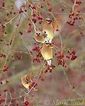 Cedar Waxwings (Bombycilla cedrorum) four eating crabapples in late winter, Ithaca, New York, USA