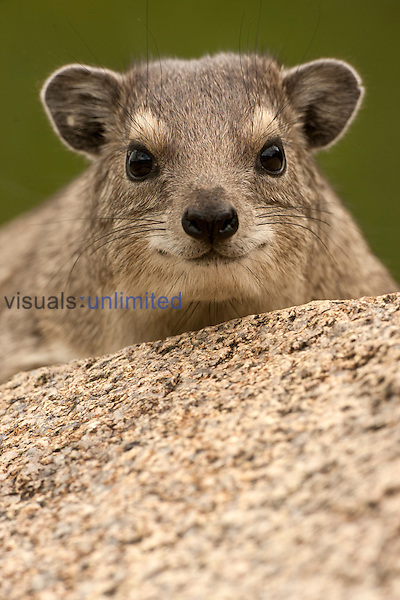 Rock Hyrax (Procavia capensis) Seronera area, Serengeti National Park, Tanzania.