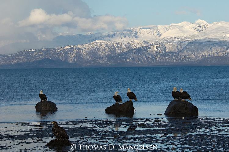 Bald eagles perch on rocks at Homer, Alaska.