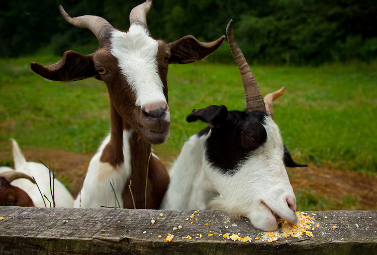 Goats eating corn at a farm | Donald Bowers Photography