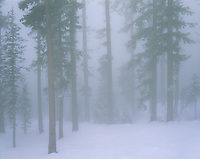 Deschutes National Forest, OR: Open forest in winter fog east of Santiam Pass - Cascade Mountain Range