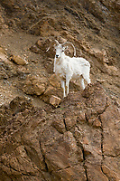 Dall sheep ram on rocky cliff, Denali National Park, interior, Alaska.
