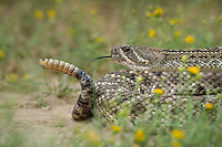 467010162 a wild western diamondback rattlesnake crotalus atrox lays coiled in a defensive threat posture in a small field of flowers on santa clara ranch starr county texas