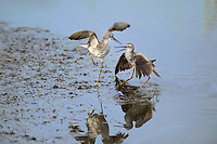598250006 a pair of male lesser yellowlegs tringa flavipes engage in dominance display and fighting in a small pond on south padre island cameron county texas united states