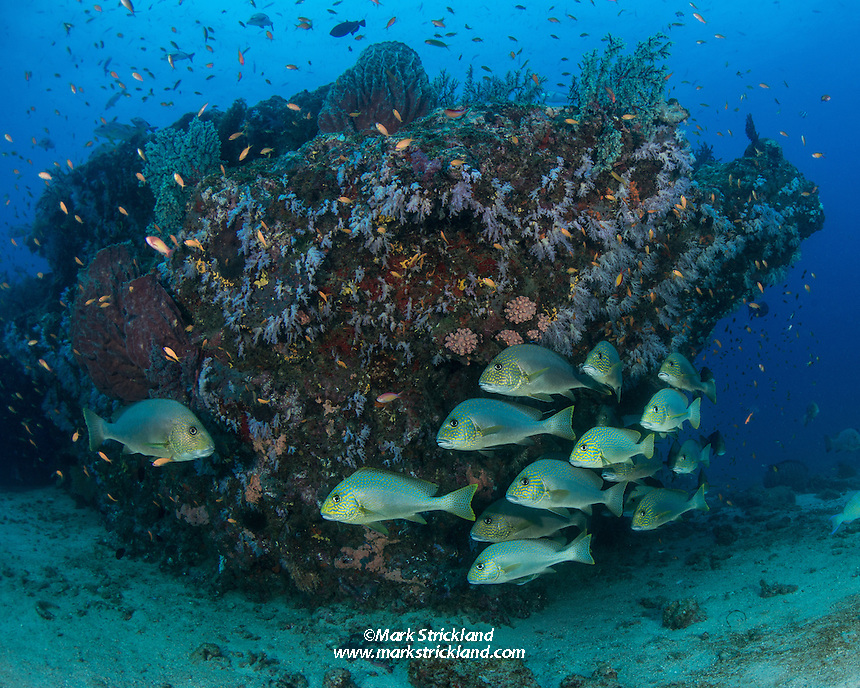 Gold-spotted Sweetlips, Plectorhinchus flavomaculatus, gather near a coral and sponge-encrusted overhang. Andaman Islands, Andaman Sea, India, Indian Ocean